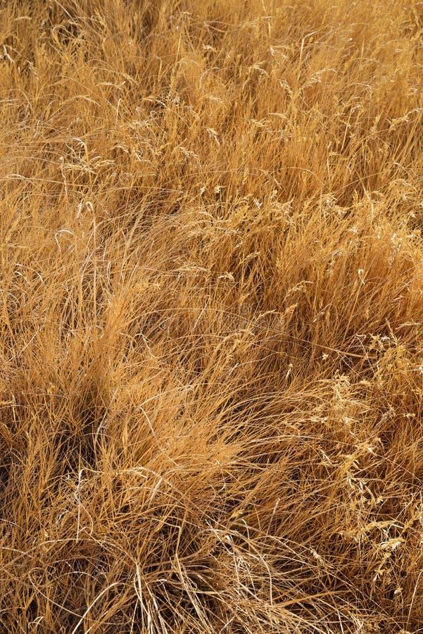 Wysuszony Wysoki trawy tło obraz royalty free
