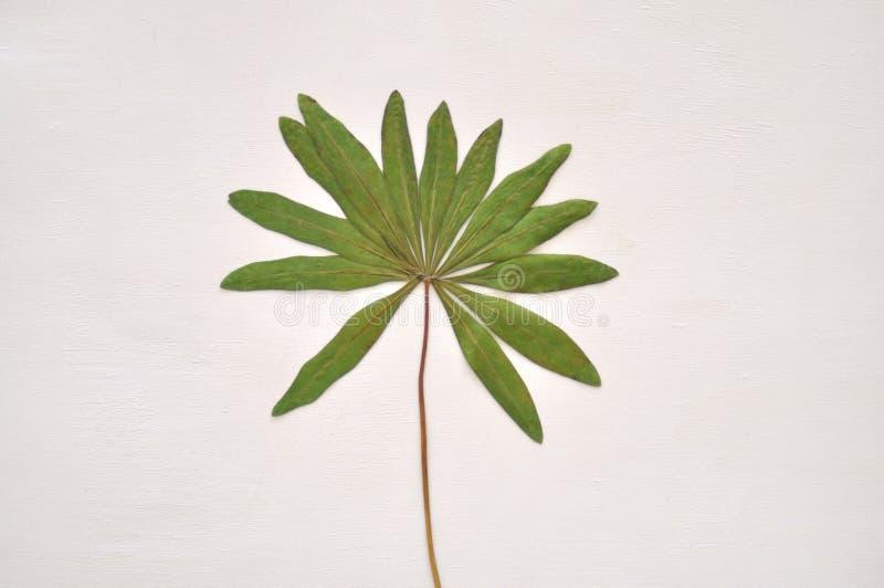 Wysuszony zielony liść obraz royalty free