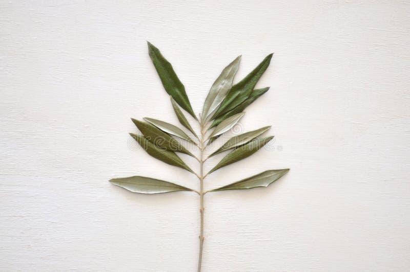Wysuszony zielony liść obrazy stock