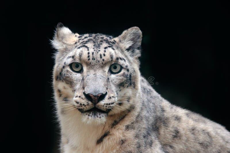 Wyszczególnia portret piękny dużego kota śnieżny lampart, Panthera uncia Stawia czoło portret lampart z jasnym czarnym tłem Hemis obrazy stock