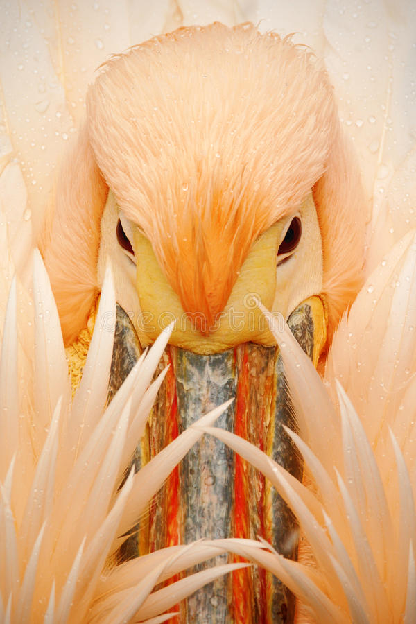Wyszczególnia portret pomarańcze i różowi ptasiego pelikana z piórkami nad rachunkiem fotografia royalty free