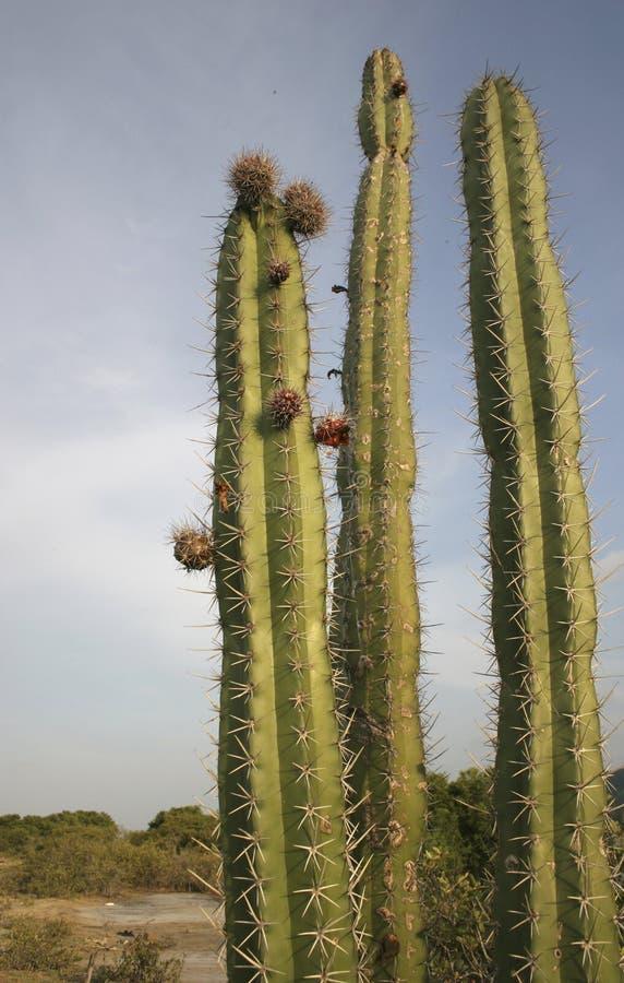 Wyszczególnia widok kwiatonośny cardon kaktus w lecie w bagna unare lagunie Wenezuela obrazy royalty free