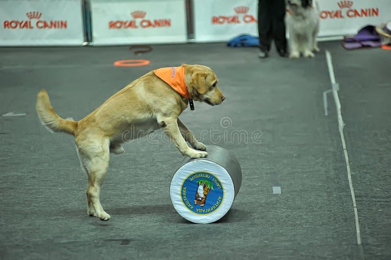 Wyszkoleni psy wykonują przy przedstawieniem zdjęcie royalty free
