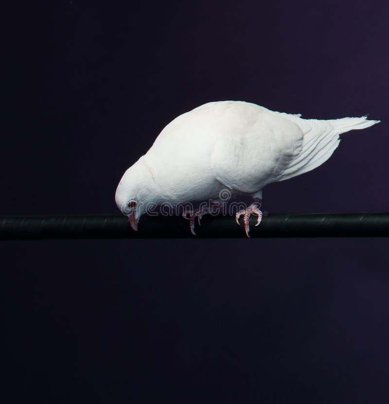 Wyszkolona biel gołąbka obrazy stock