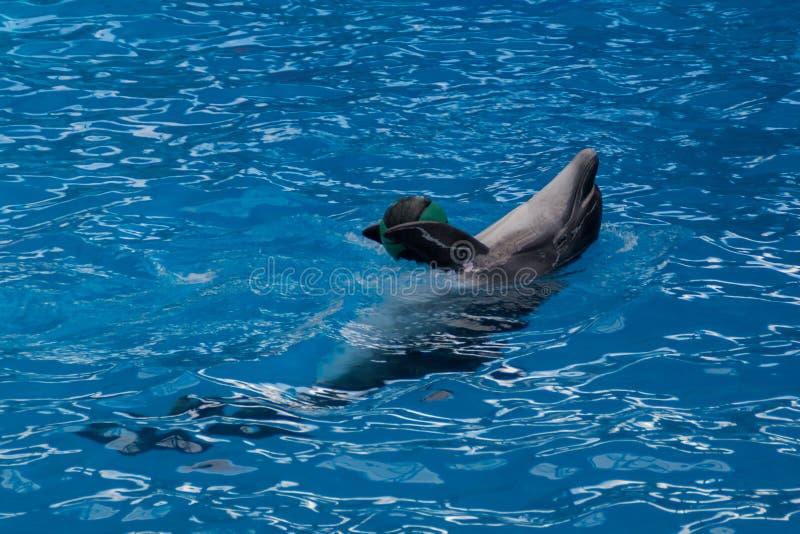 Wyszkolony delfin w akwarium, dolphinariums Pokazuje z delfinami Delfin bawi? si? z pi?k? trener pracy z wyszkolonym obraz royalty free