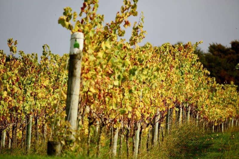 Wytwórnia win przy jesienią wśród staczać się zielonych wzgórza; jaskrawi colours gronowego winogradu liście obrazy stock