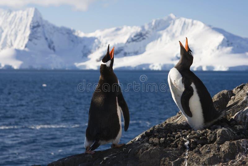 wywoławczy robi genntoo kotelni pingwiny obrazy stock