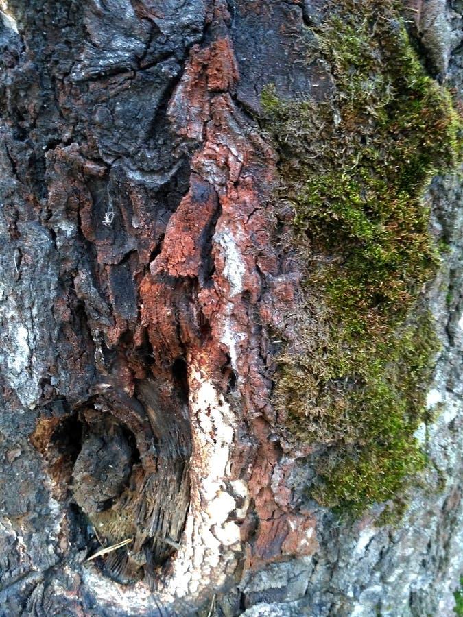 Wzór brzoza mech i barkentyna Brzozy barkentyna i mech tekstury naturalny tło w górę Brzozy drzewa drewniana tekstura i mech natu obrazy royalty free