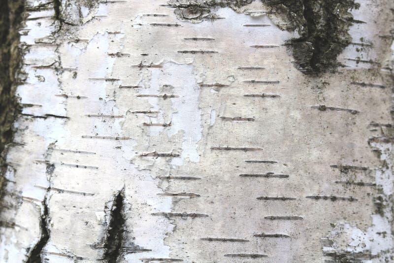 Wzór brzozy barkentyna z brzoza lampasami zdjęcie royalty free