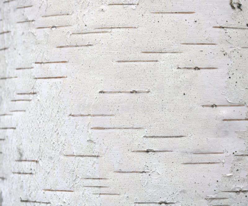 Wzór brzozy barkentyna z czarnej brzozy lampasami na białej brzozy barkentynie obrazy royalty free