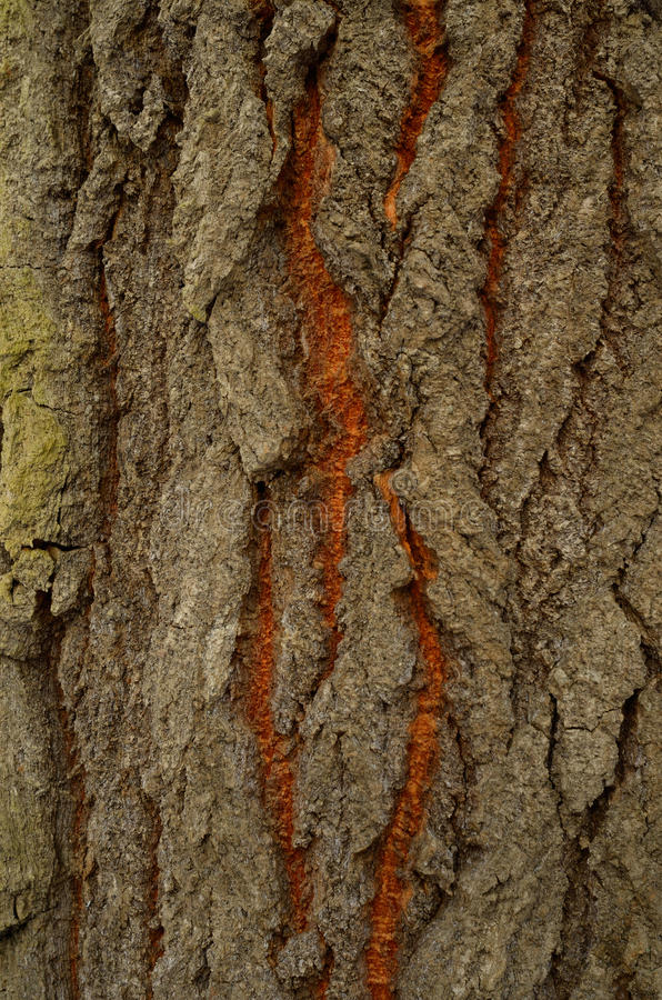 Wzór drzewna barkentyna Tło Piękna tekstura fotografia royalty free