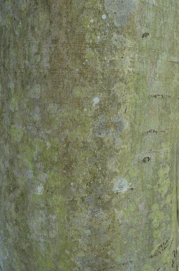 Wzór drzewna barkentyna Tło Piękna tekstura ilustracja wektor