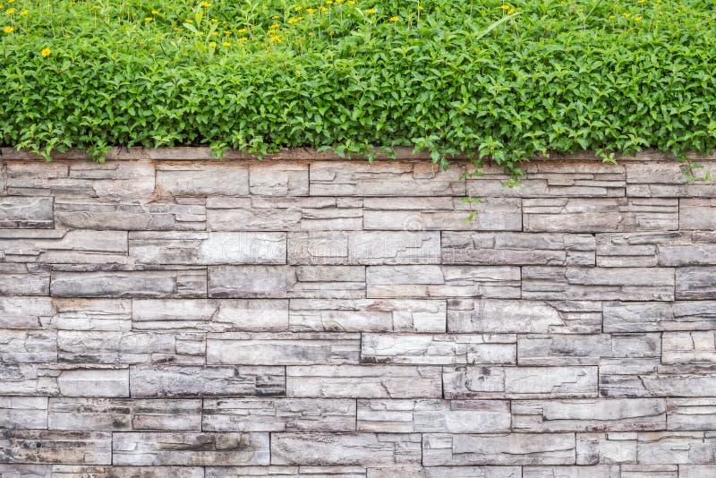 Wzór naturalna kamienna ściana i zieleń bluszcz Ogrodowy dekoracyjny obraz stock