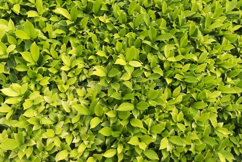 Wzór piękna zieleń opuszcza w parku obrazy stock