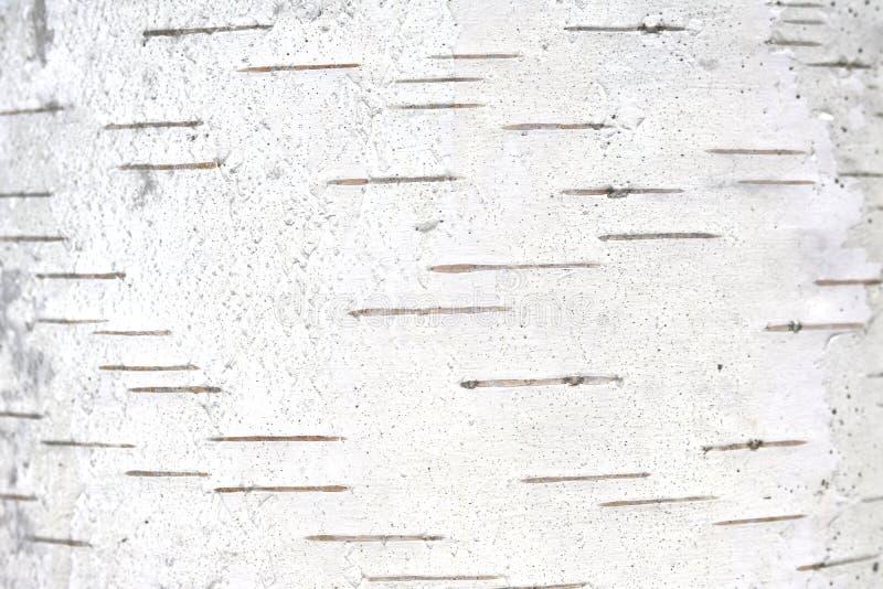 Wz?r brzozy barkentyna z czarnej brzozy lampasami zdjęcia royalty free