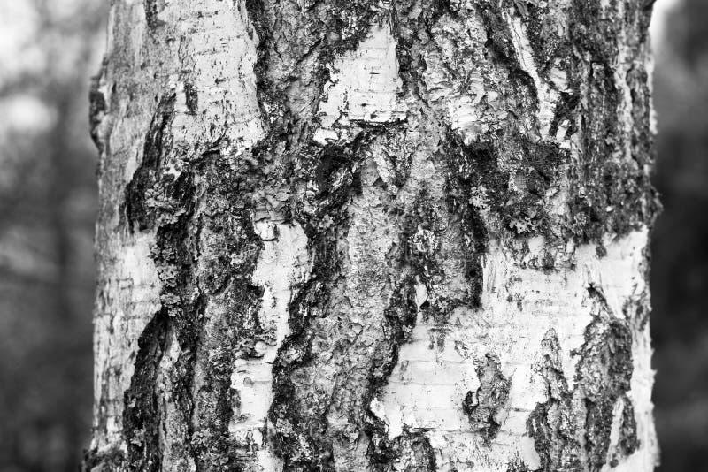 Wz?r brzozy barkentyna z czarnej brzozy lampasami obraz stock