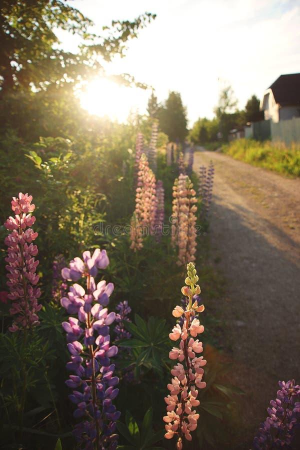 Wzdłuż drogi r pięknych kwiaty łubiny zmierzchu słońce iluminuje naturę obraz royalty free