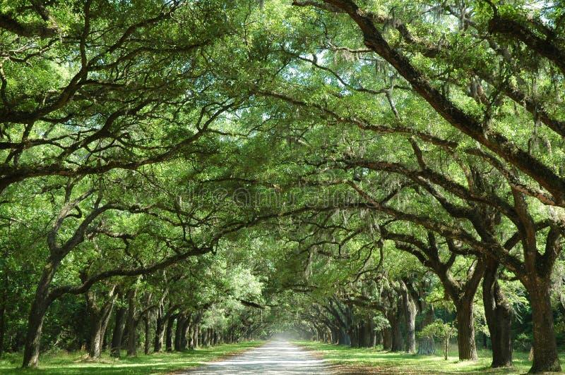 wzdłuż krajów drzew dębowych drogowych zdjęcie royalty free
