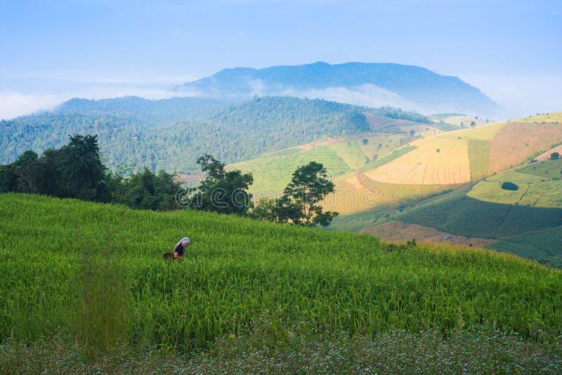 Wzgórza plemię w zielonym irlandczyków ryż polu zdjęcia stock
