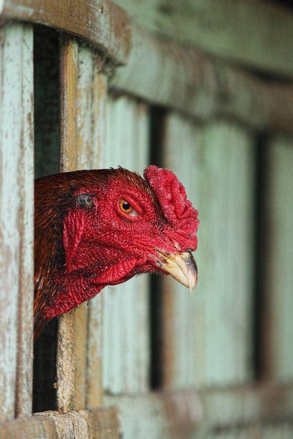 wzierny kurczak fotografia stock