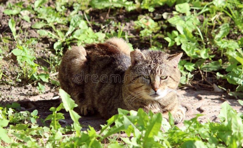 wzmacniający bezdomnego kota trzcinowy kolor z ranami po walki obraz stock