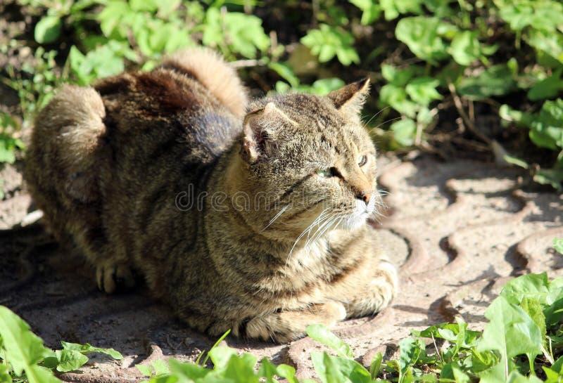 wzmacniający bezdomnego kota trzcinowy kolor z ranami po walki zdjęcie stock