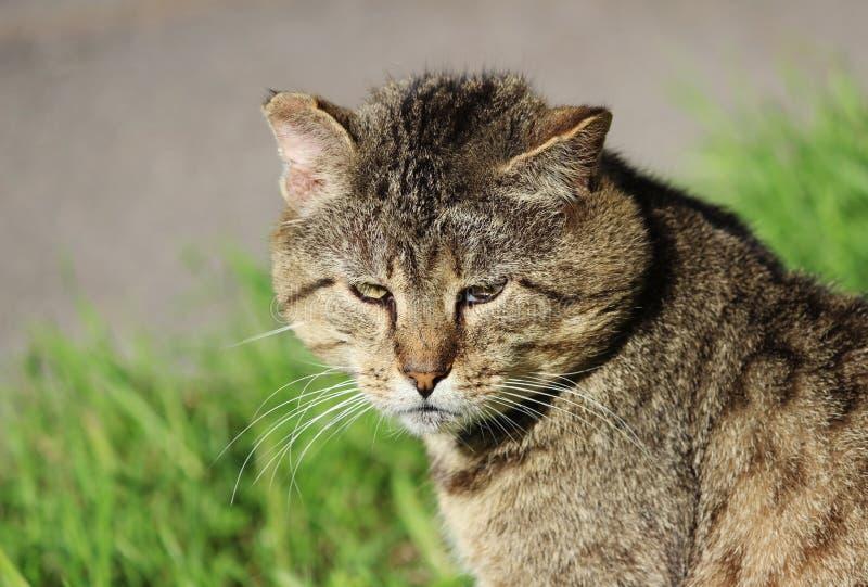 wzmacniający bezdomnego kota trzcinowy kolor z ranami po walki obraz royalty free
