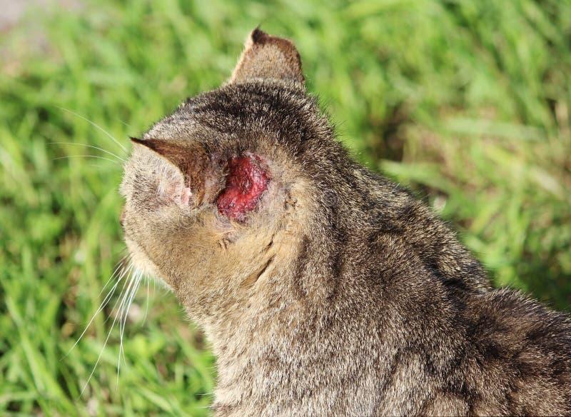 wzmacniający bezdomnego kota trzcinowy kolor z urazami scabies otoacariasis typowy chrobot za ucho i ucho zdjęcie royalty free