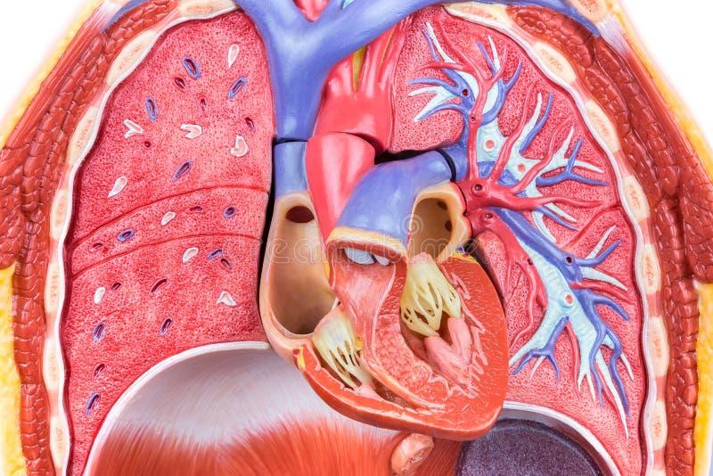 Wzorcowy ciało ludzkie z płucami i sercem obrazy royalty free