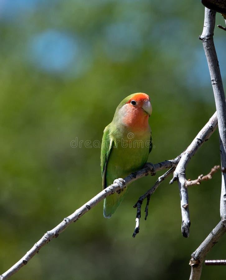 Wzrastał cheeked lovebird na gałąź w drzewie fotografia stock