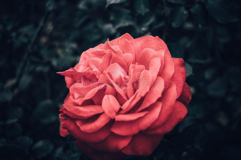 Wzrastał kwiatu makro- fotografia royalty free