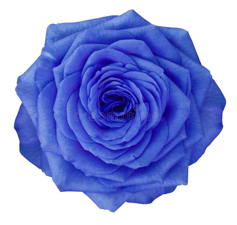 Wzrastał błękitnego kwiatu na białym odosobnionym tle z ścinek ścieżką Żadny cienie zbliżenie obraz royalty free