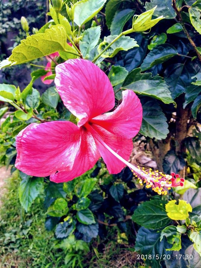 Wzrastał barwionego kwiatu dorośnięcie w domu fotografia royalty free