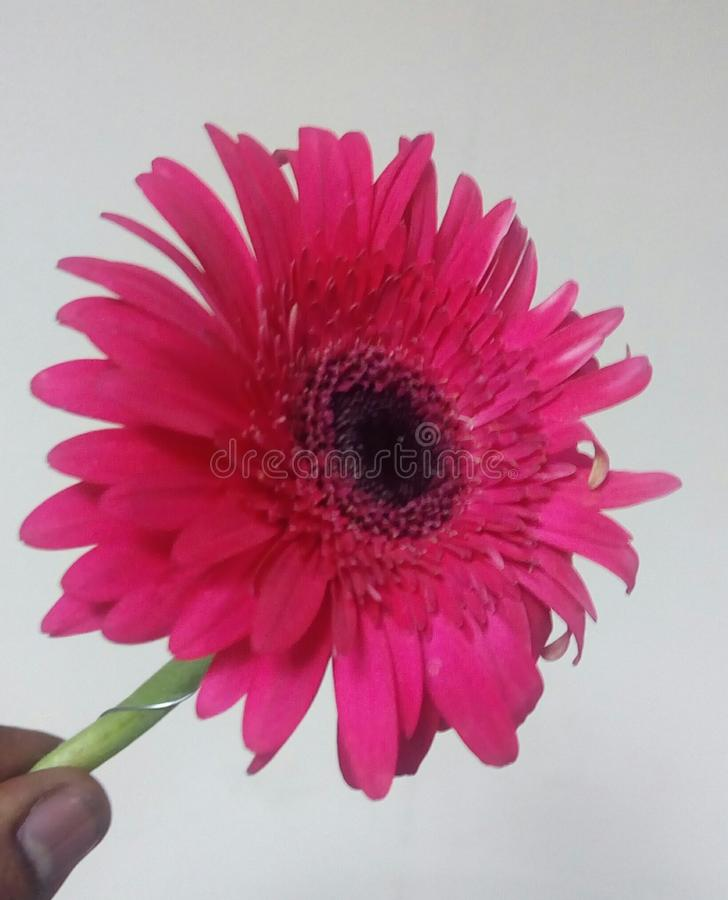 Wzrastał koloru kwiatu zdjęcia stock