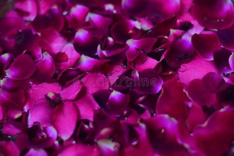 Wzrastał kwiatów płatki unosi się w wodnym zbliżeniu fotografia stock