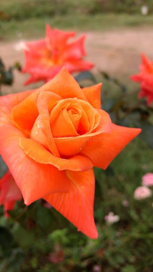 Wzrastał (kwiat) zdjęcia stock