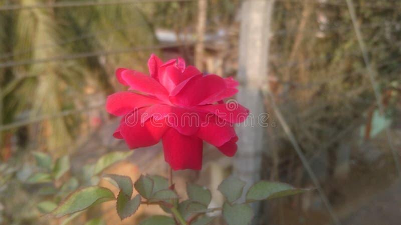 Wzrastał kwiat miłości naturalnego piękno zdjęcie royalty free
