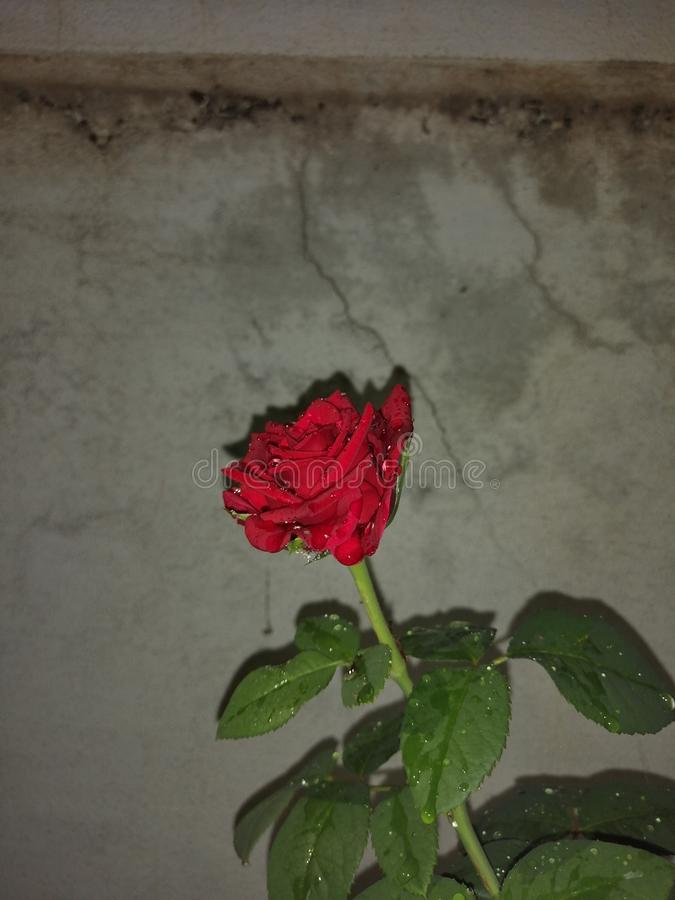 Wzrastał kwiat opłaty czerwień zdjęcia stock