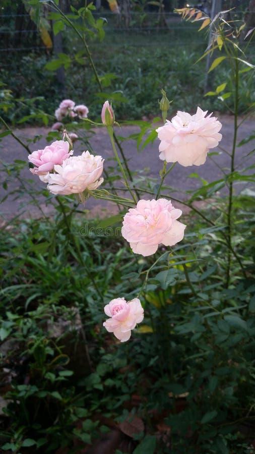 Wzrastał kwiatu zdjęcia royalty free