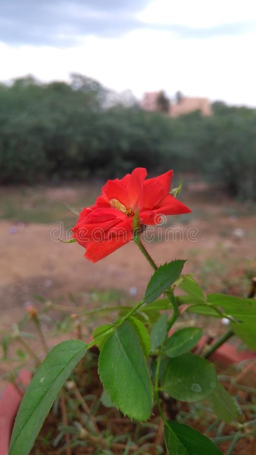 Wzrastał kwiatu zdjęcie stock