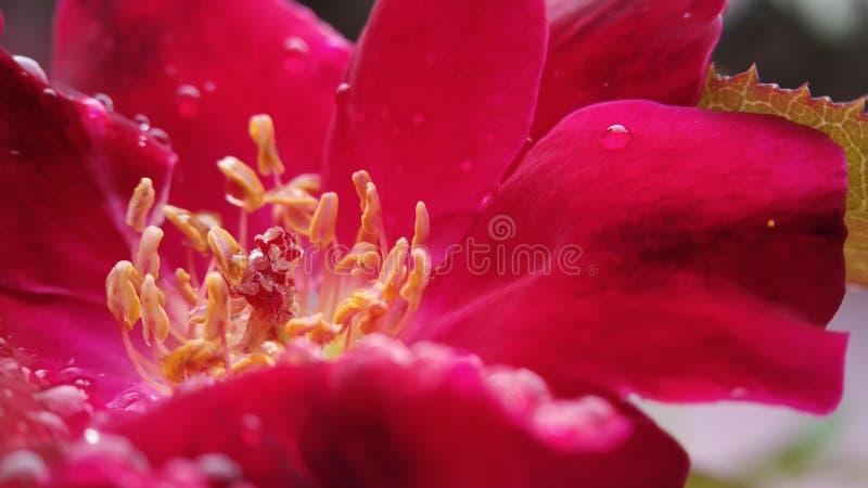 Wzrastał kwiatu anther i piętno strzału makro- jasny skupiał się zdjęcie stock