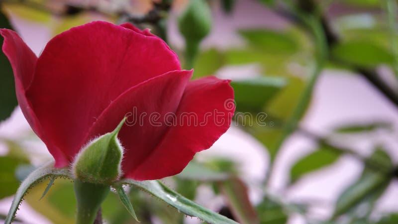 Wzrastał kwiatu anther i piętno strzału makro- jasny skupiał się fotografia royalty free