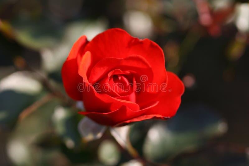 Wzrastał kwiatu outdoors obraz royalty free
