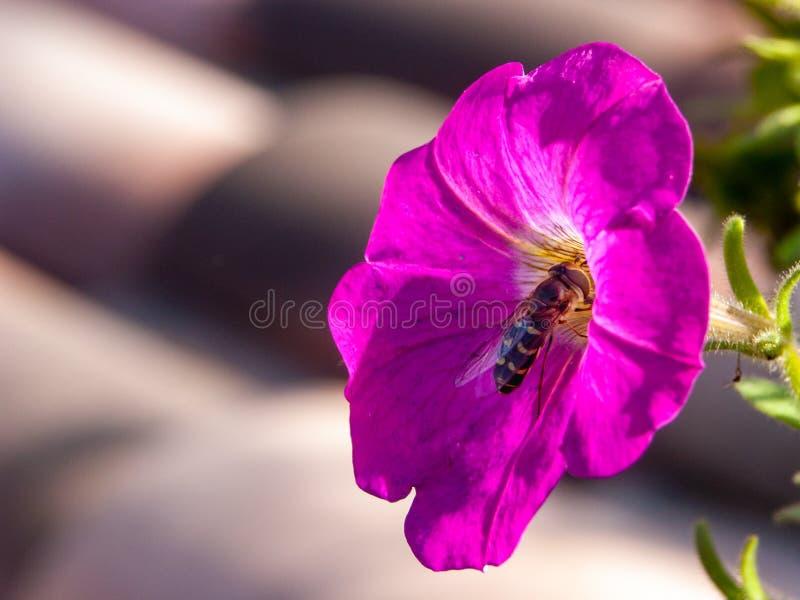 Wzrastał kwiatu z pszczołą bierze nektar zdjęcie royalty free