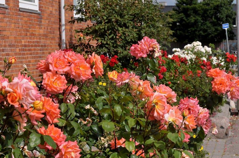 WZRASTAŁ kwiaty W HHUSE ogródzie Ja KOPENHAGA zdjęcie royalty free
