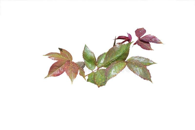 Download Wzrastał liścia zbliżenie obraz stock. Obraz złożonej z kolory - 57669591
