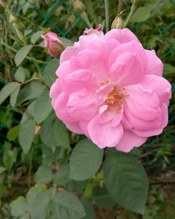 Wzrastał menchia kwiatu na mój ogródzie obraz stock