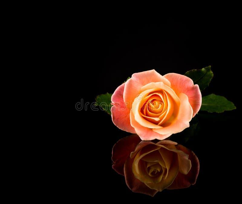 Wzrastał menchie i kolor żółtego Romantycznej Żywej róży Stubarwny odbijać na Czarnym tle obraz stock