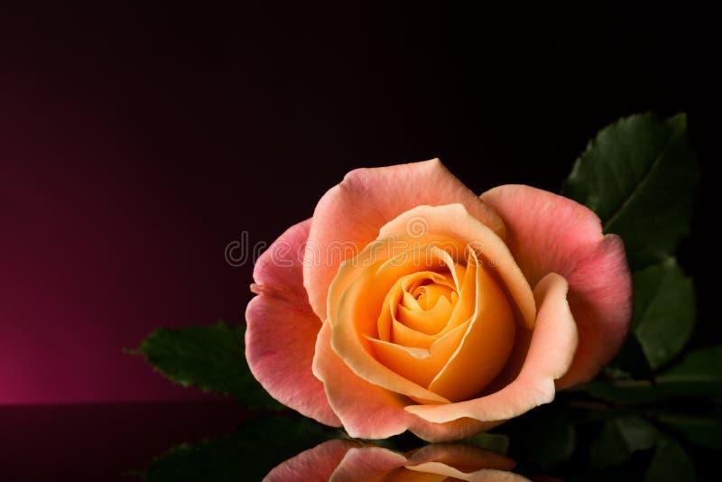 Wzrastał menchie i kolor żółtego rose romantyczne Stubarwny odosobniony na Czarnym i purpurowym tle fotografia stock