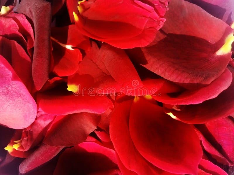 Wzrastał różanych płatki z textured tłem fotografia stock